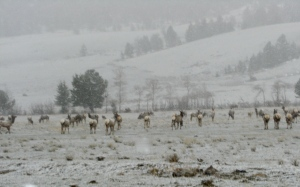 Elk in my Valley
