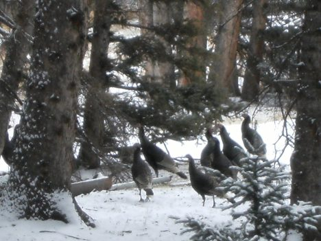 Wild turkeys, not native