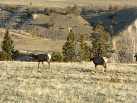 Elk in my Valley.  I thought elk on left looked quite pregnant.