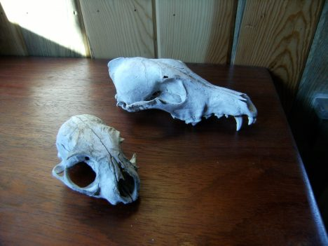 Coyote skull and bobcat skull