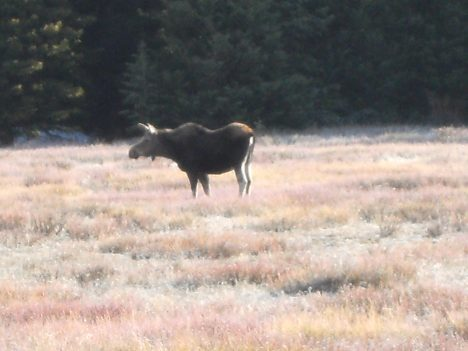 Moose in nearby meadow