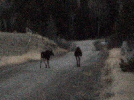 Moose walking down my road at dusk