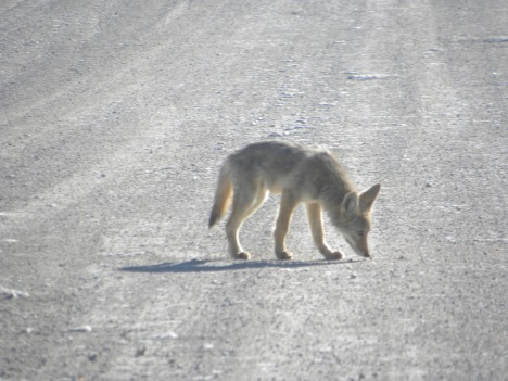 Coyote pup sniffing something in road