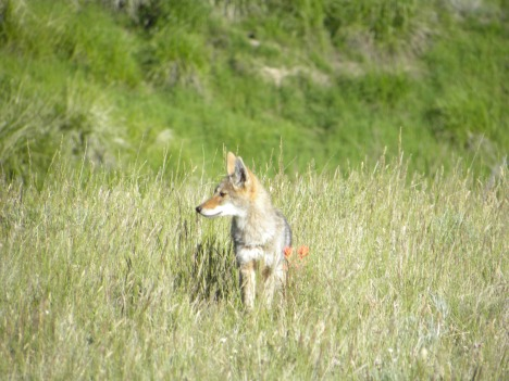 Coyote pup hunting