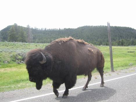 A modern day Bison walking the road