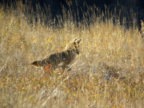 Coyote catching grasshoppers