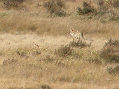 Collared wolf.  Compare his size and colors to coyote
