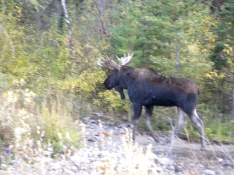 Northfork moose