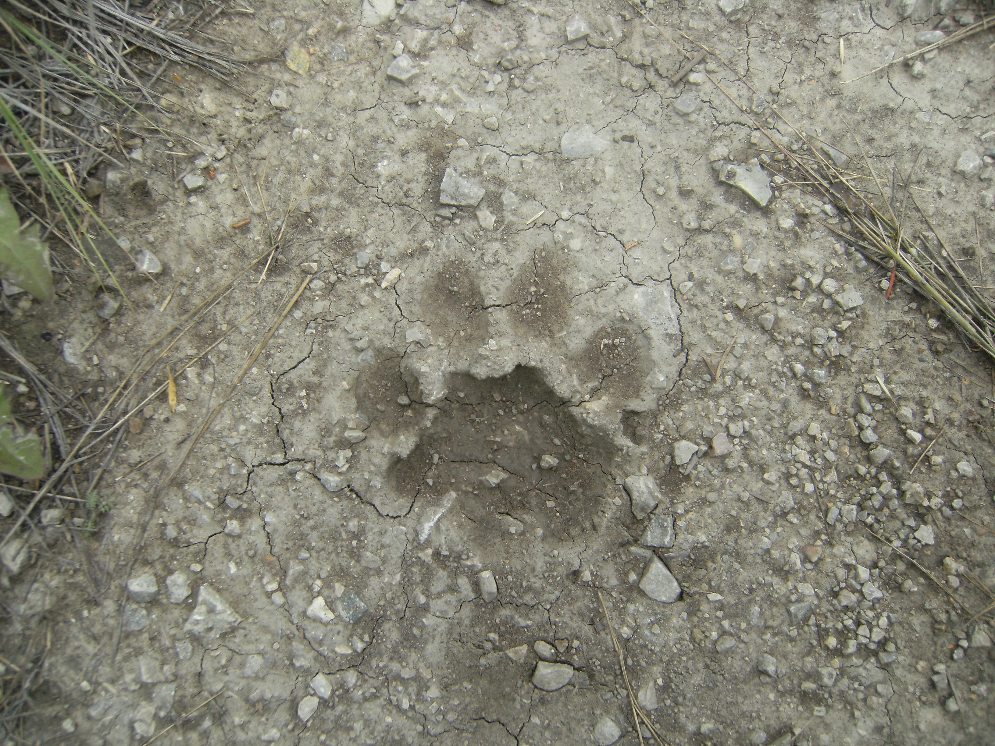 What do coyote tracks look like  Answerscom