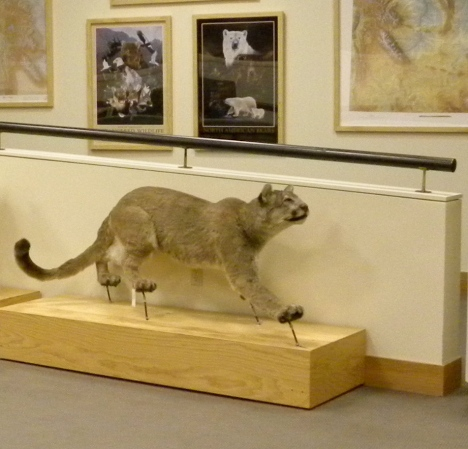Stuffed mountain lion