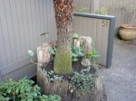 We moved the mature tree fern into this existing rotting stump