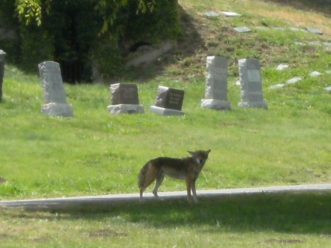 Urban coyote rests mid-day in local cemetary