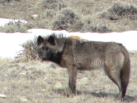 This wolf, from my valley, was by the road two years ago.  With the hunts you will no longer see wolves so easily