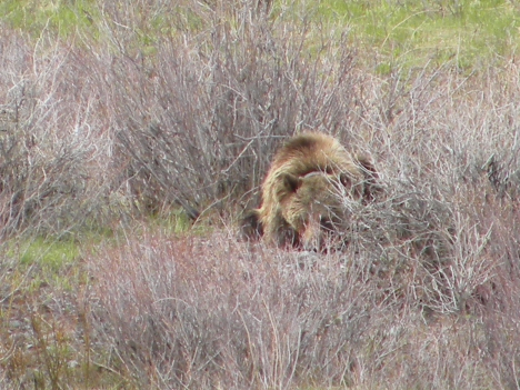 Grizzly minding his own business