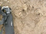Wolf print on the trail following elk prints
