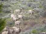 Herd of Rams lets us get close