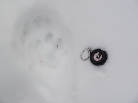 Cougar hind track measuring 2.75 x 3.25