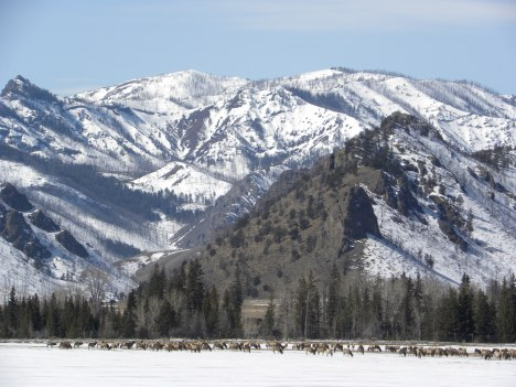 Elk herd in valley on a warm day