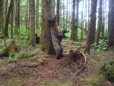 Bear scent trees and leave their hairs