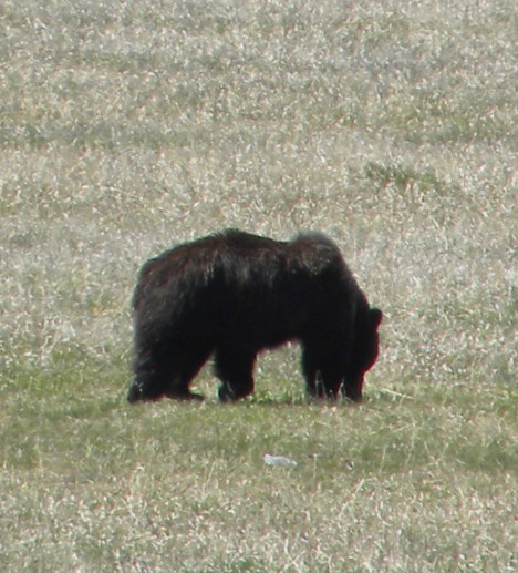 Grizzly in Lamar