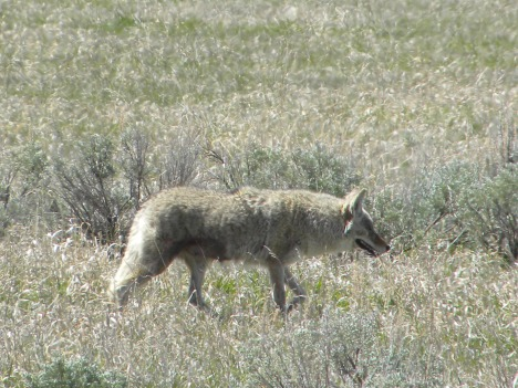Coyote searching sagebrush for prey