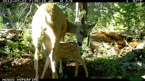 Deer and fawn nursing
