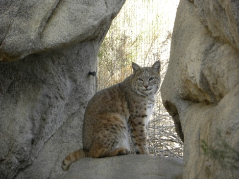 Photo I took of a bobcat in Palm Springs wildlife zoo.  He looks like he wants to get out there.