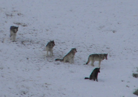 The YNP wolves visited Sunlight this winter for a few months.