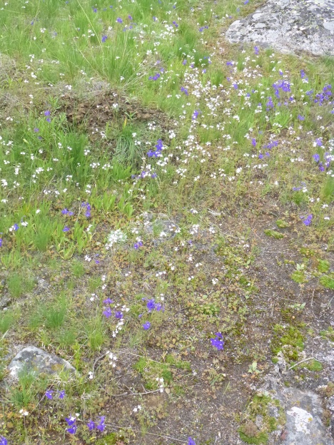 Meadow of Larkspur and Woodland star