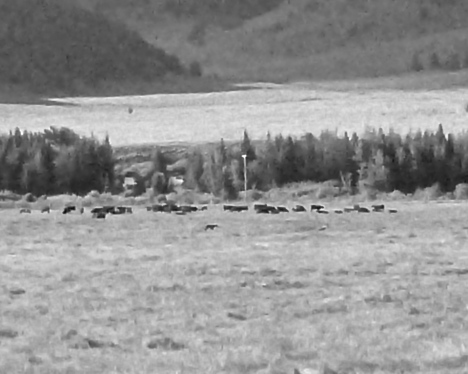 Hard to see, but the small dot in the foreground is the wolf mousing amongst the cattle