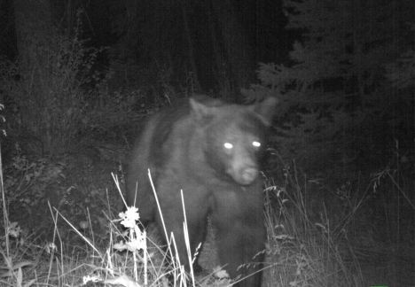 Young bear yesterday coming to look for berries