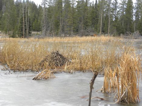 Muskrat house near shoreline.  Note frozen water