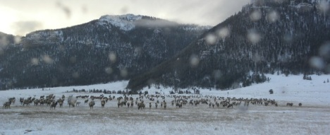 About 2000 elk are in the valley in winter.