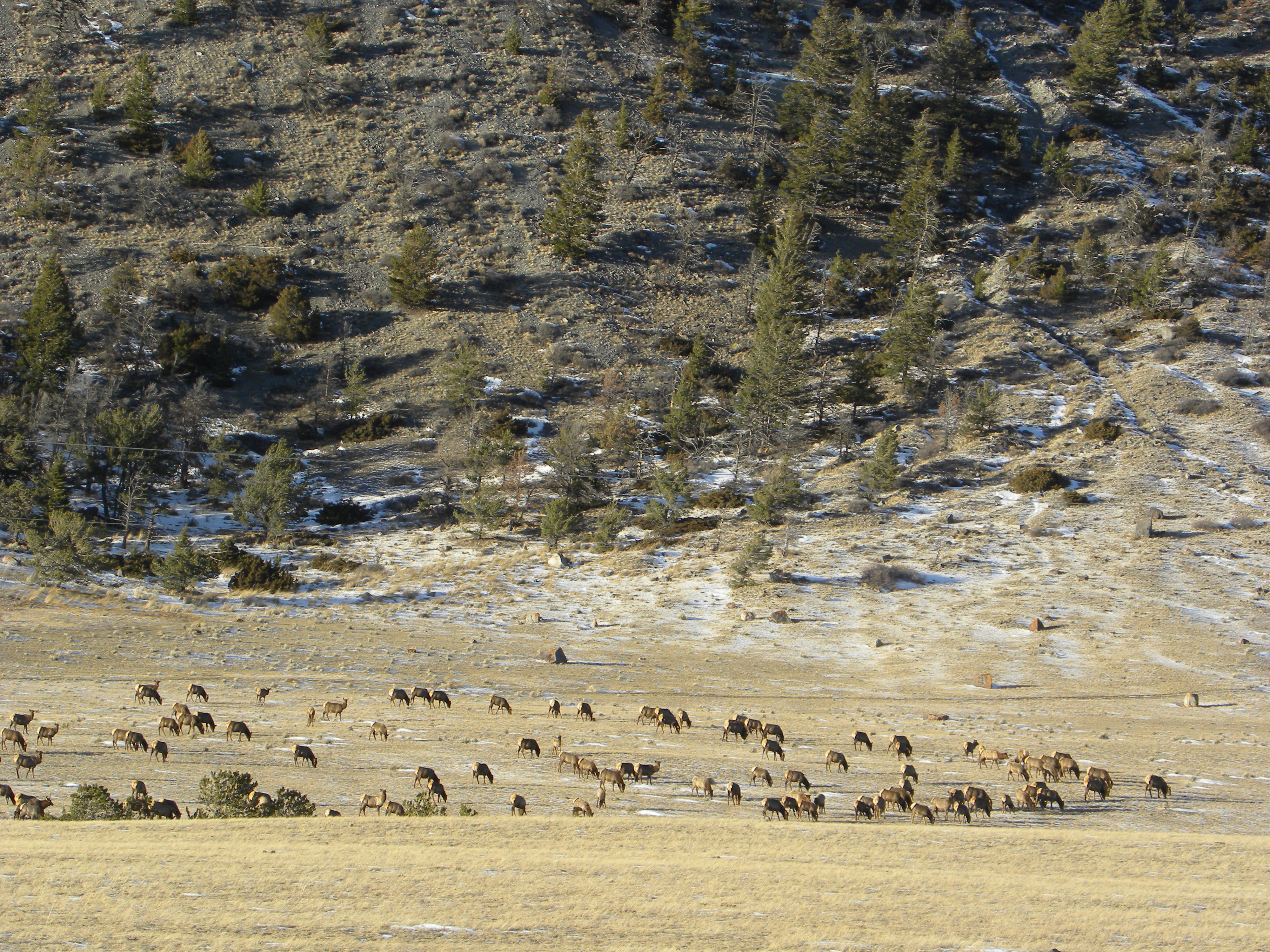 This is a large herd of about 350 elk.  No snow in January