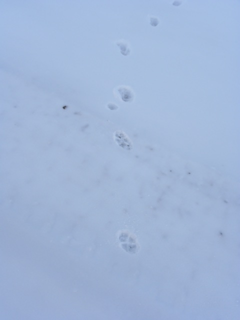 You can see the small imprint of his left hind leg.  The back legs are in front because he is running