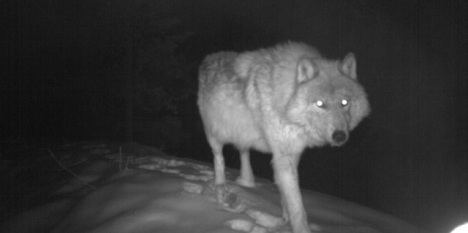 Wolf wary of infared light