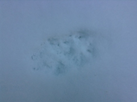 Fox track close-up