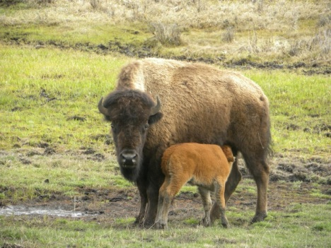 Bison and nursing calf