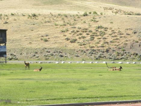 Elk lounge on the high school field in Gardiner