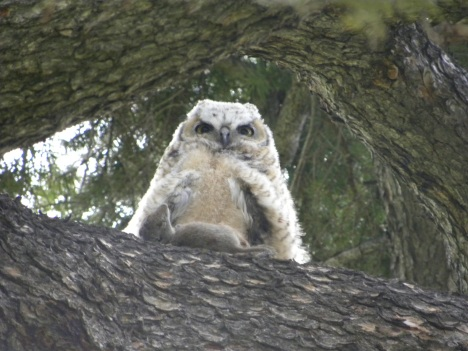 Great Horned baby with mouse