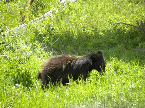 Little Black bear in Yellowstone