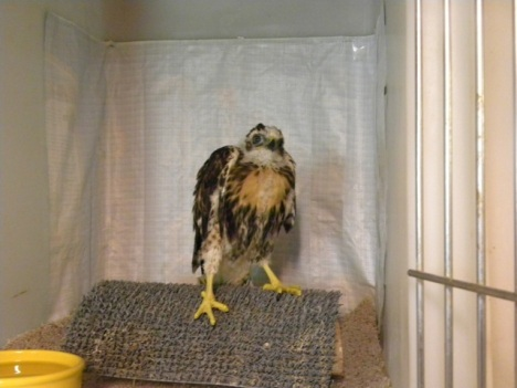 Red Tail baby in its cage.