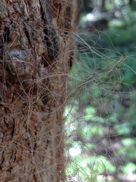 Grizzly bear rub tree