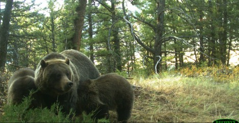 Grizzly mom with two cubs of the year near my house