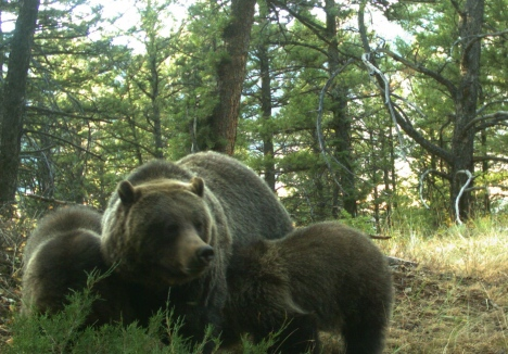Grizzlies too are killed for cattle predation on public lands
