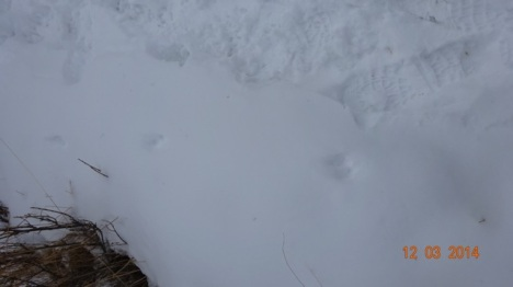 Weasel tracks next to my footprint