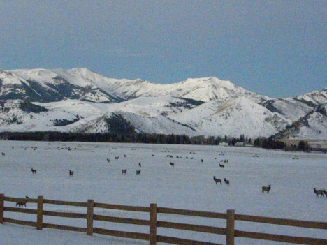 The new fence with lots of elk there this year.  They are resting these grasses so have reduced cattle grazing