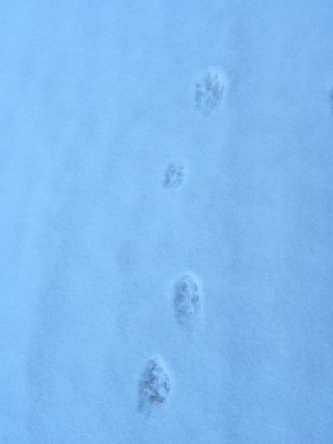 Coyote running.  rear feet are in front of front feet.  Notice the 2nd print from top.  That is the left rear and its noticeably smaller