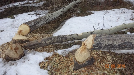 Beaver evidence on Russell Creek