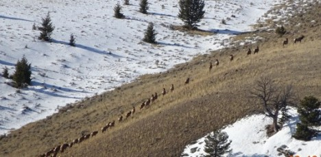elk moving up the hillside
